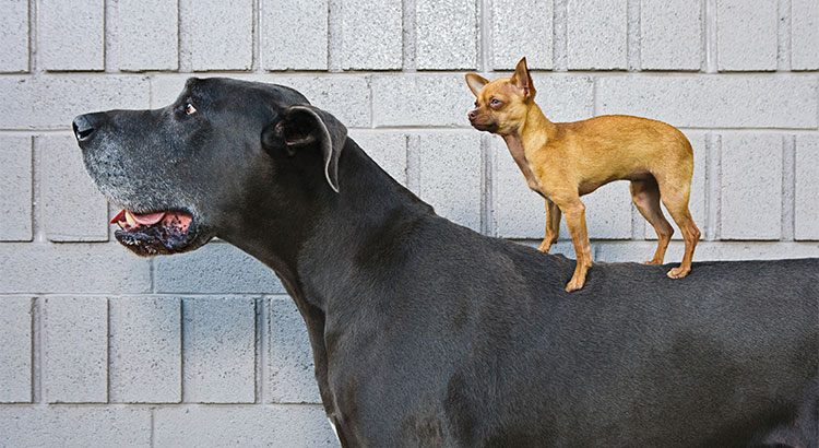 A Small Dog On A Large Dog.